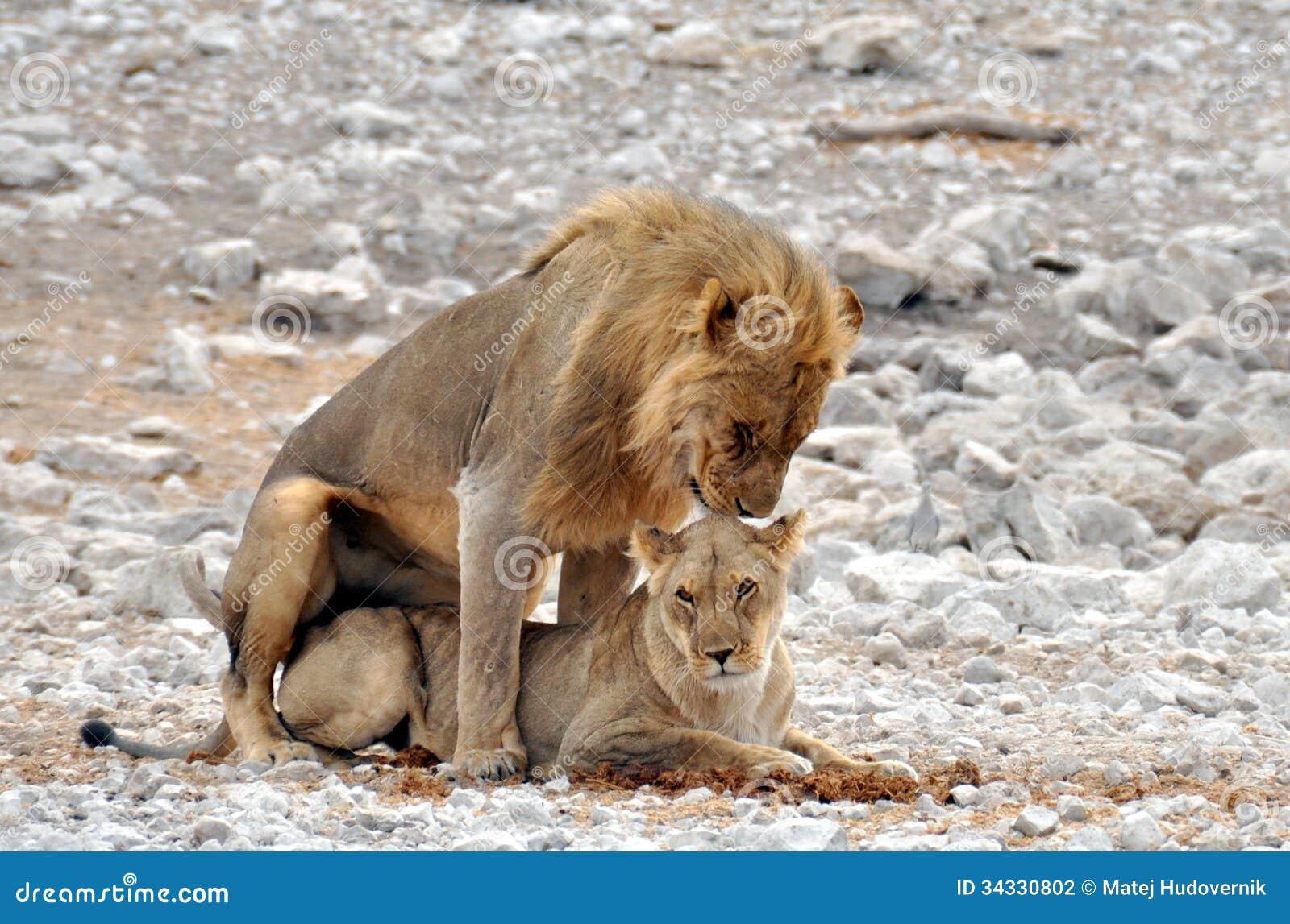 Mating Lions, Etosha National Park, Namibia Stock Photo - Image Of Mating, Couple -9523