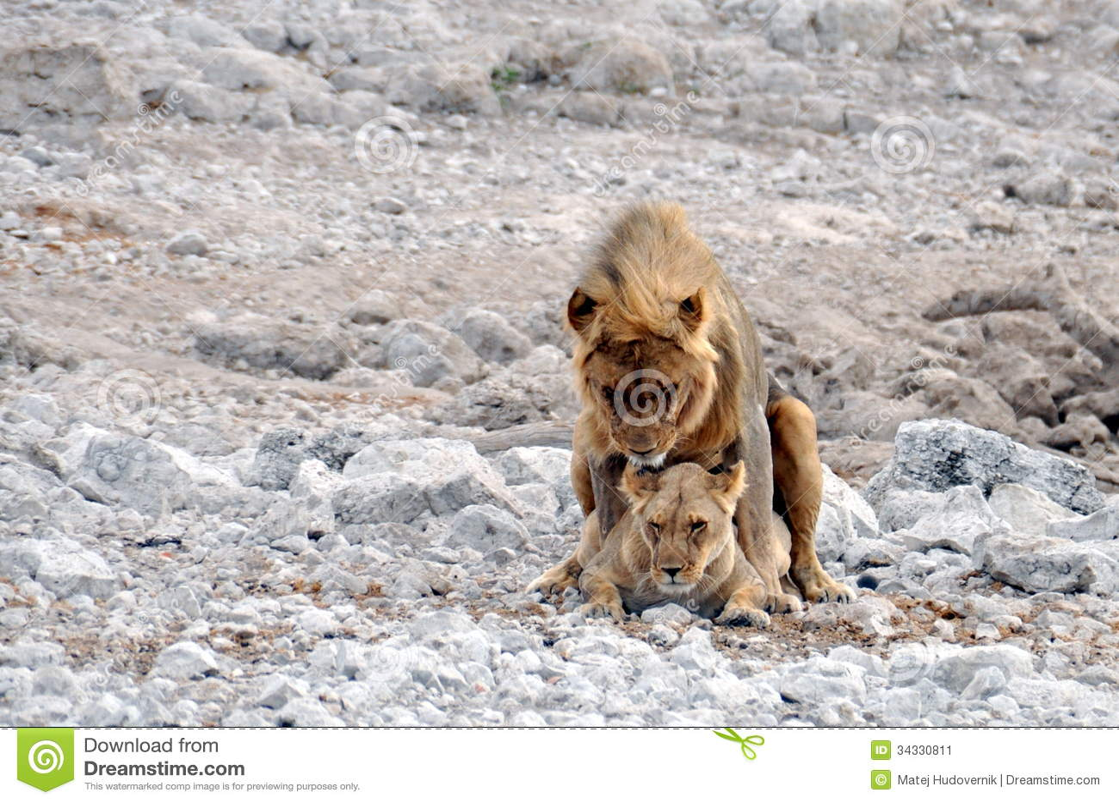 Mating Lions, Etosha National Park, Namibia Stock Image - Image Of Cats, Wild 34330811-1064
