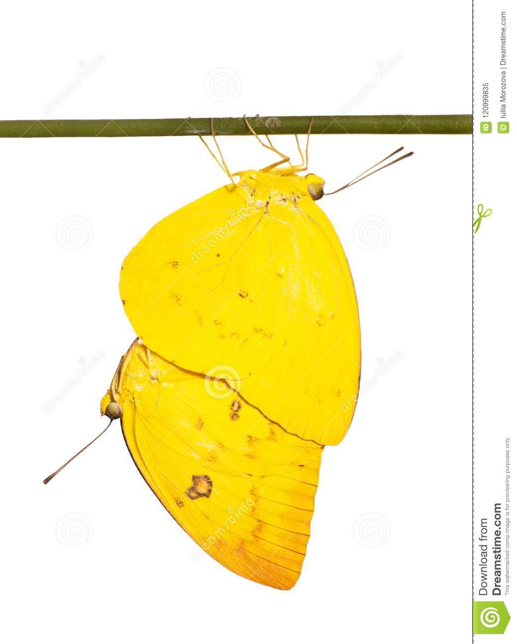 Mating orange emigrant butterflies on a stick isolated on white