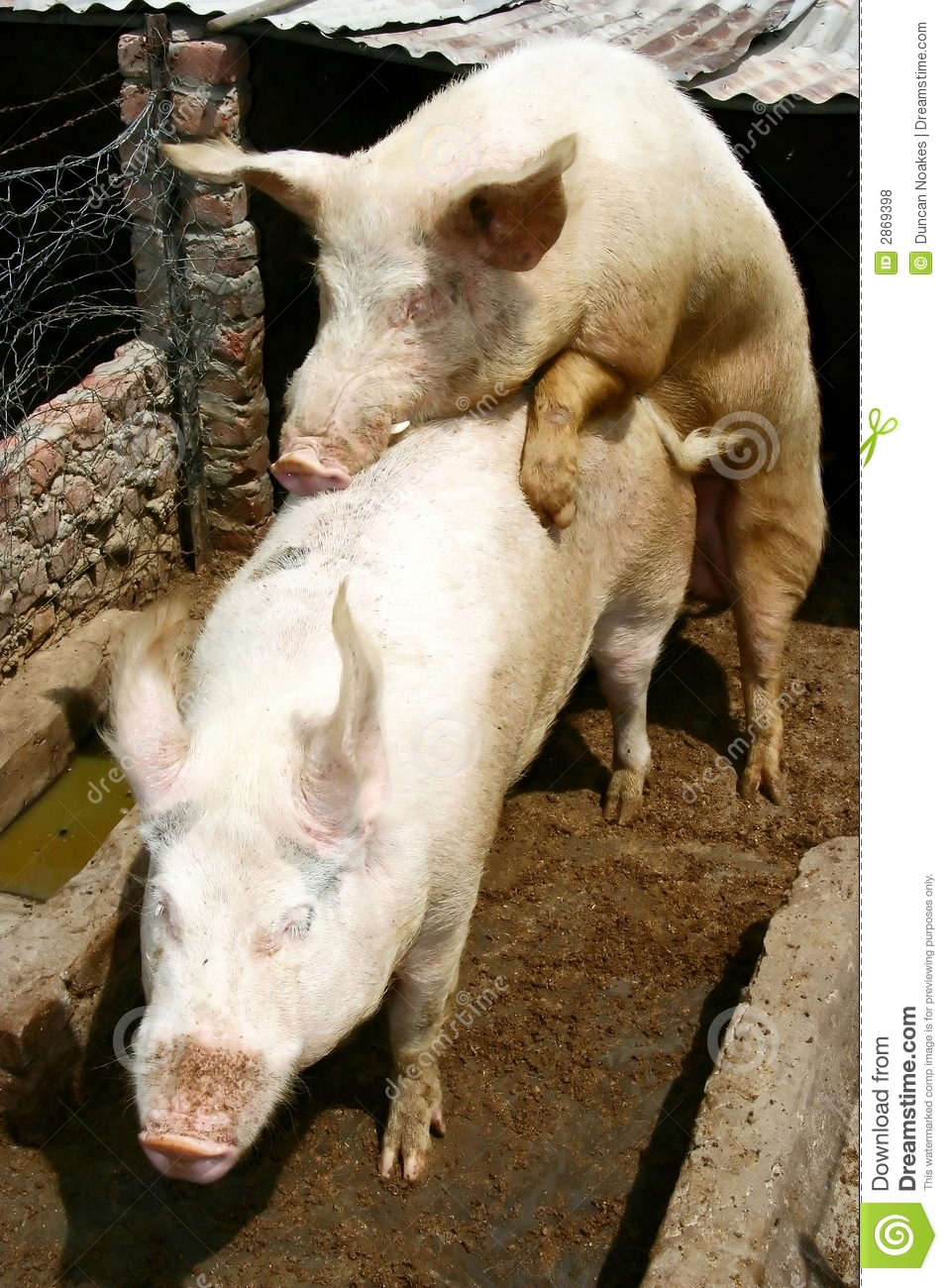 Pigs mating in their pigsty.