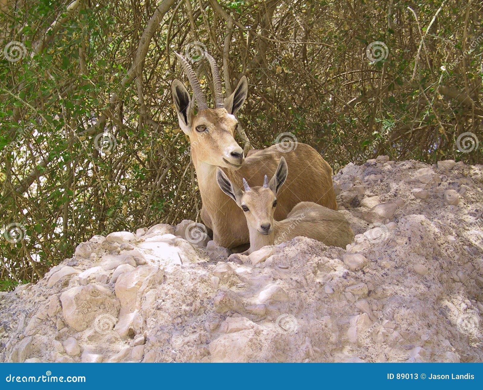 Matka dzieciaka ibex