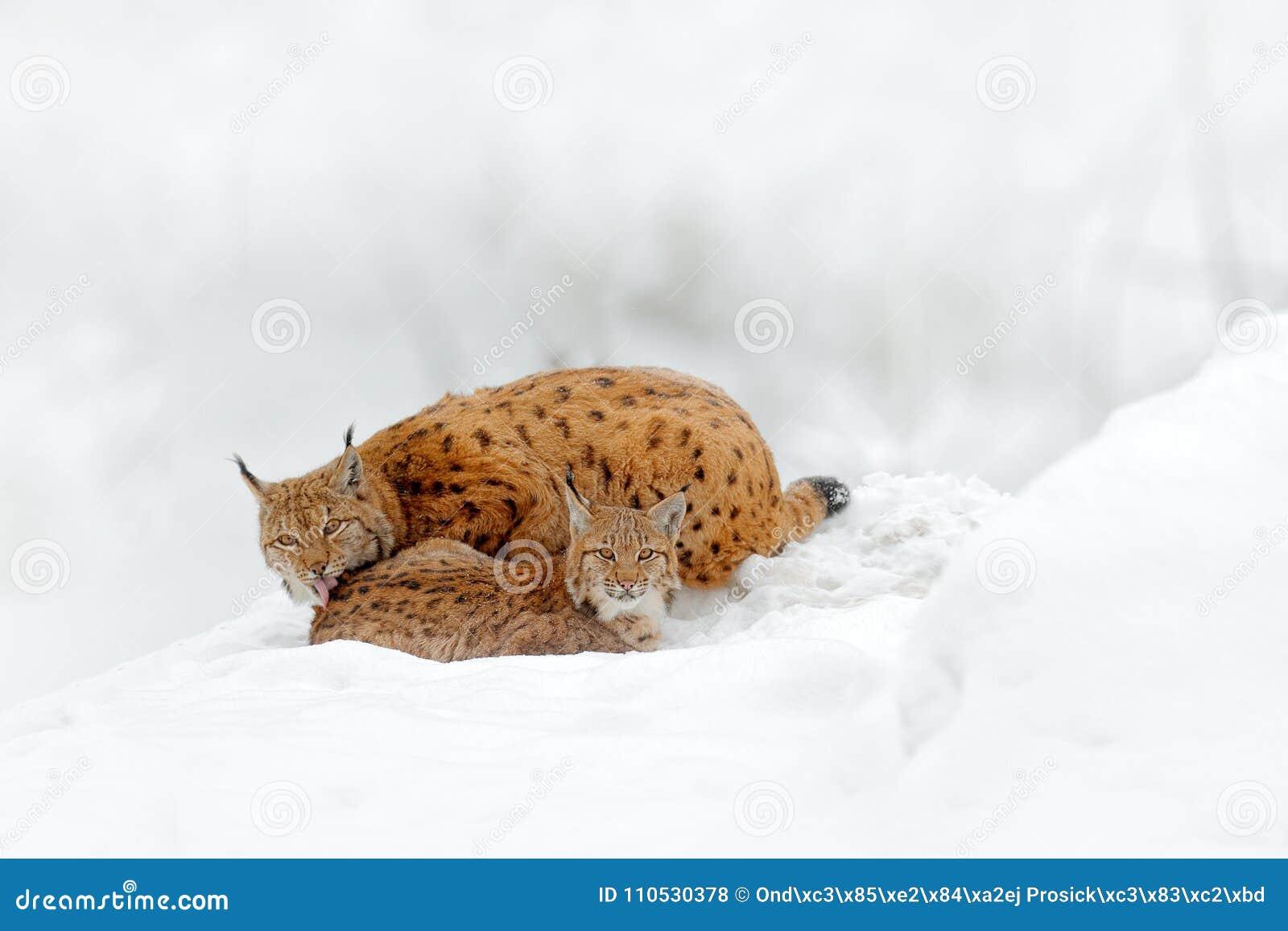 Matka z potomstwami, dzika kot rodzina Ryś w natury przyrody siedlisku Dwa kot, drzewa śnieżni Ryś w śnieżnym lasowym Eurazjatyck