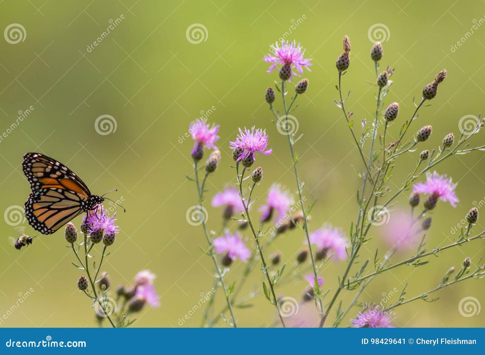 Matningar för monarkfjäril på liten purpurfärgad knapweed blommar i ängen