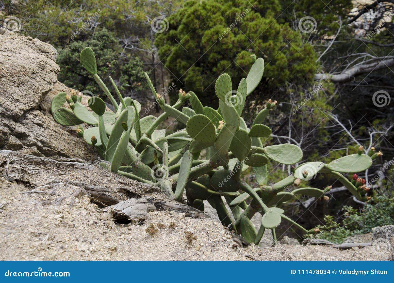 Matorrales del cactus Bosquejos de la calle en la ciudad de Haria Lanzarote Islas Canarias españa