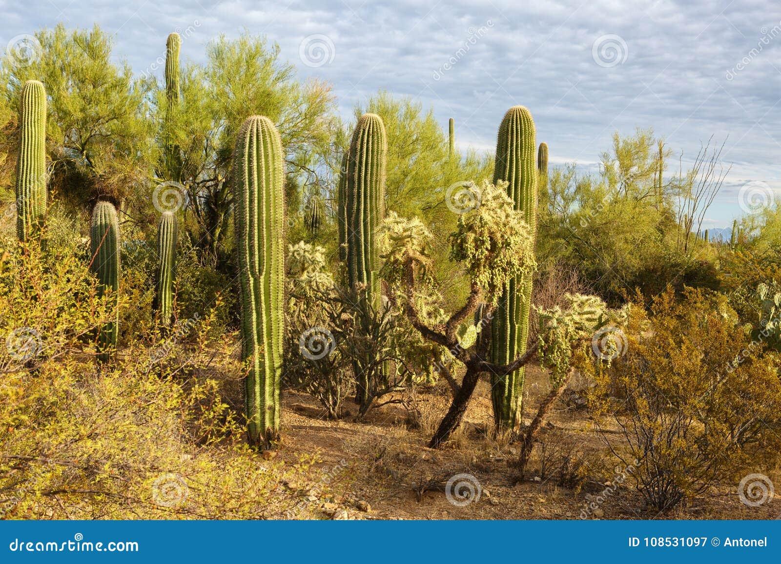 Matorrales del cactus en parque nacional de Saguaro en la puesta del sol, Arizona del sudeste, Estados Unidos