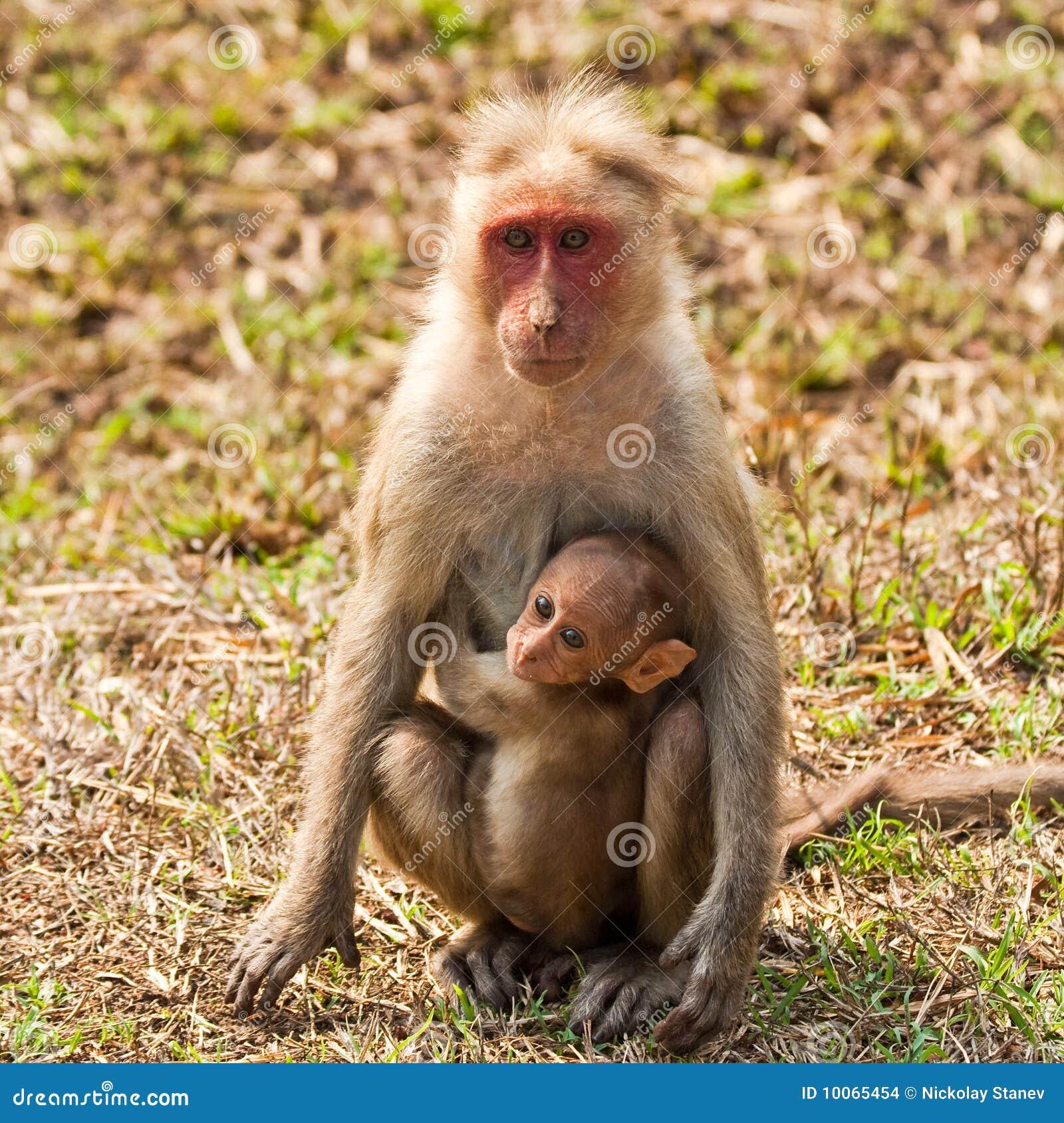 Matriz do Macaque de capota com bebê