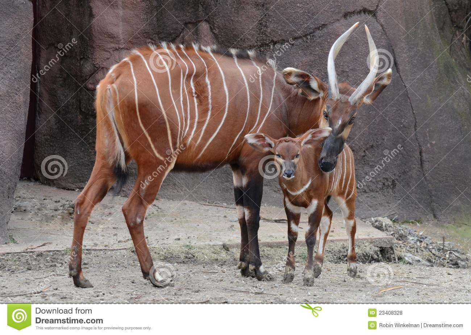 Matriz e vitela dos bongos