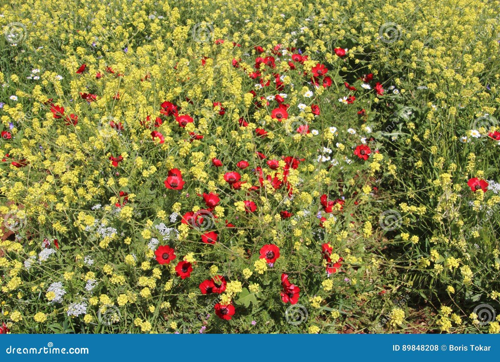 Matta av härliga blommor för blommor i Israel Mount Gilboa Carmel