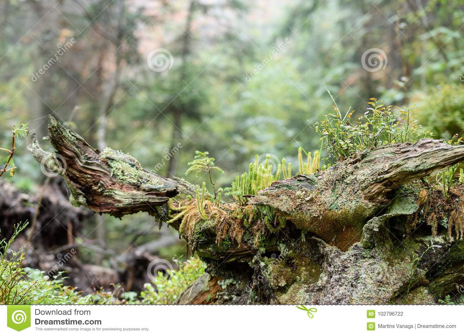 Mattina bagnata nebbiosa nel legno foresta con i tronchi ed il giro di albero
