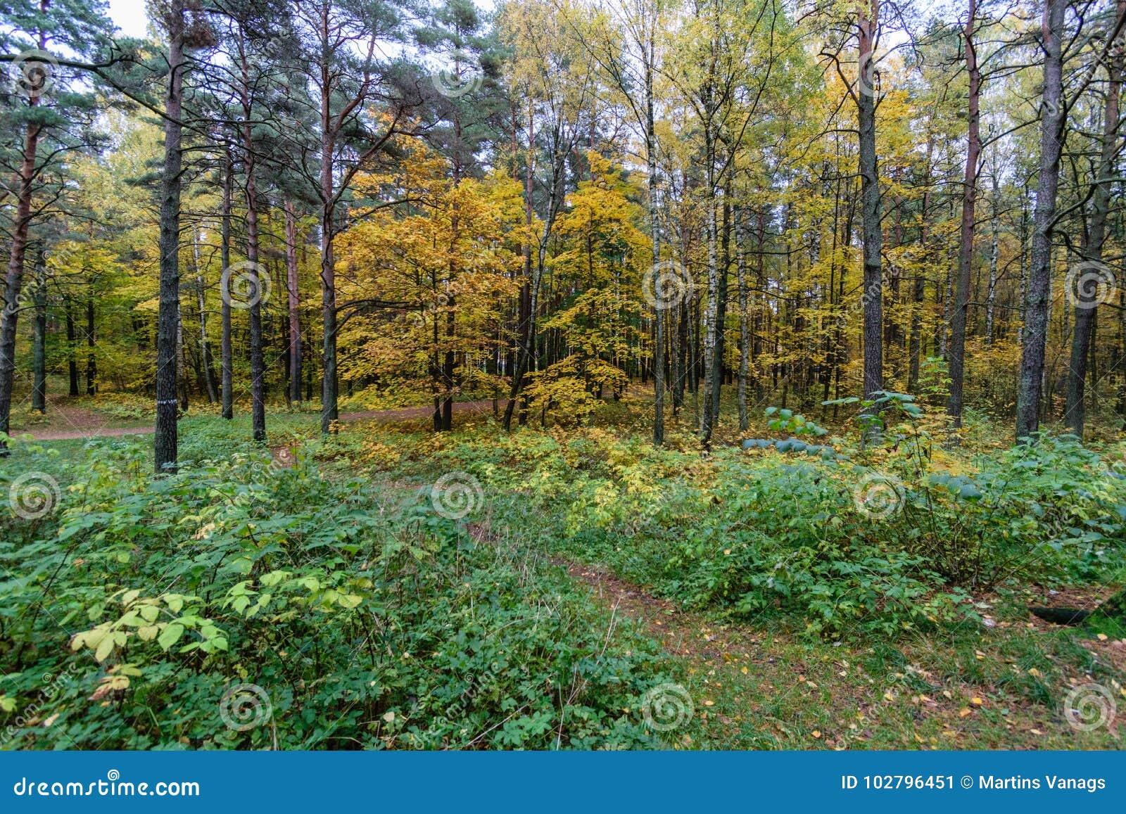 Mattina nebbiosa nel legno foresta con i tronchi di albero