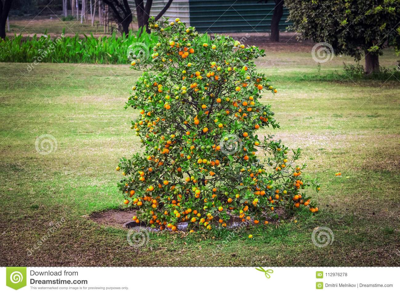Dwarf Bush with tangerines. Low tree with small varieties of oranges.