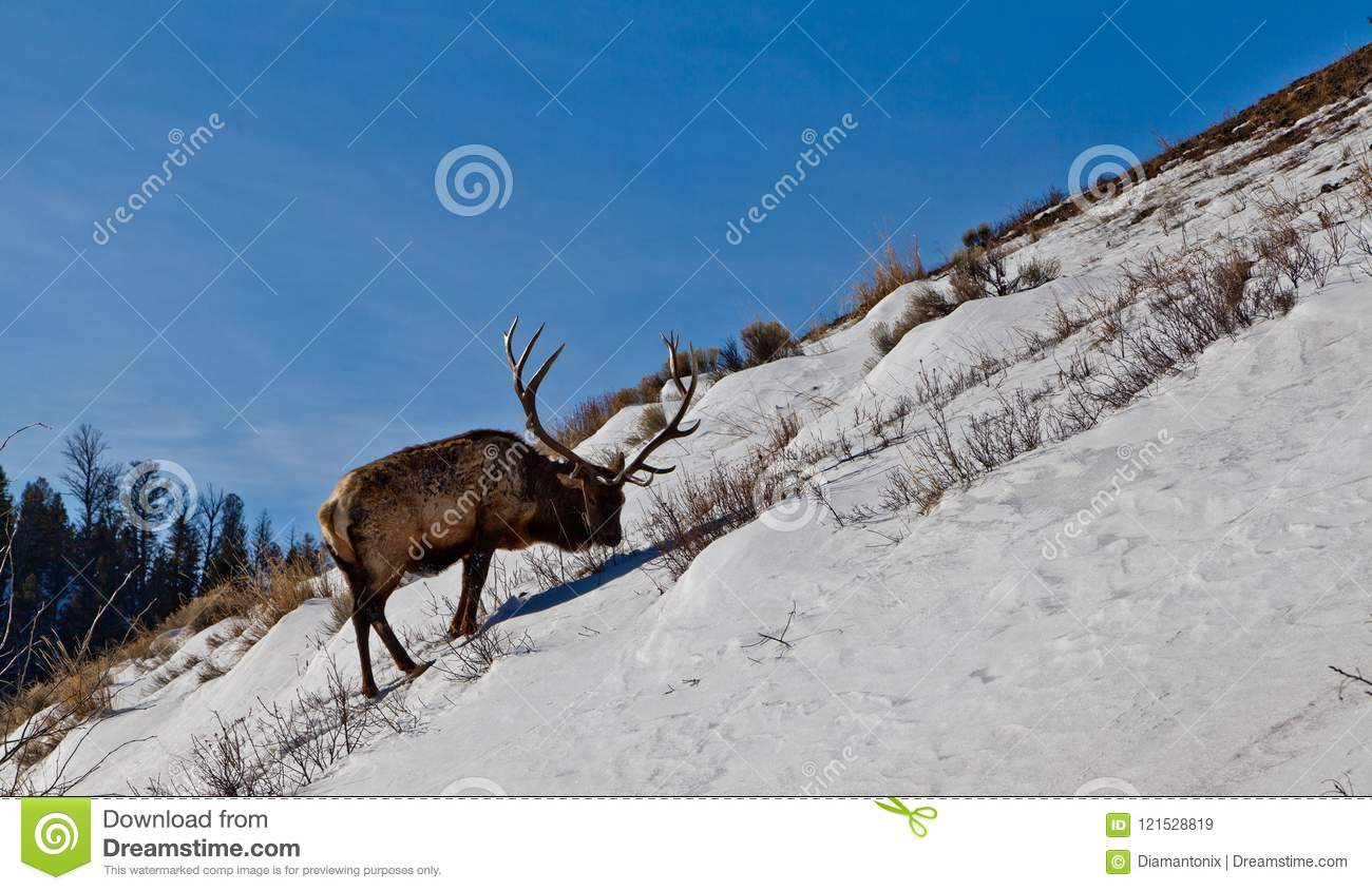Mature elk bull looking for food on steep snowy hill