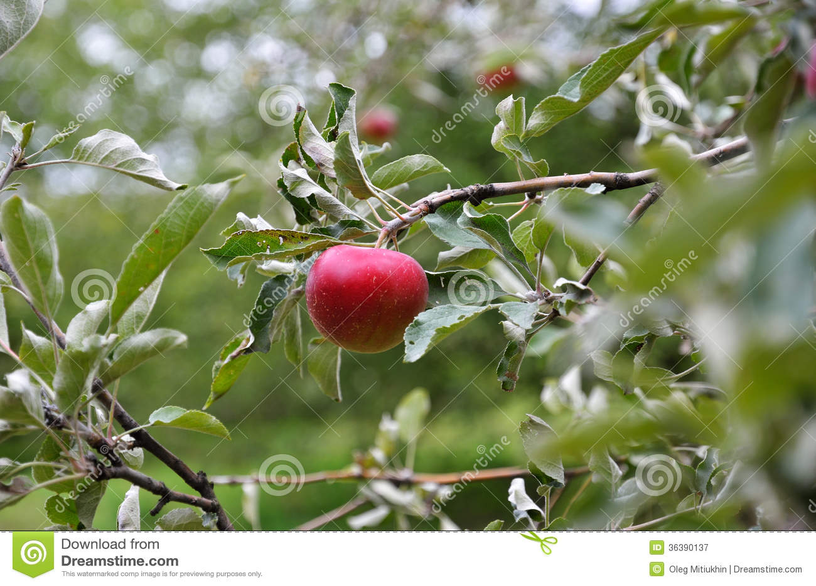 Mature Fruit Tree 57