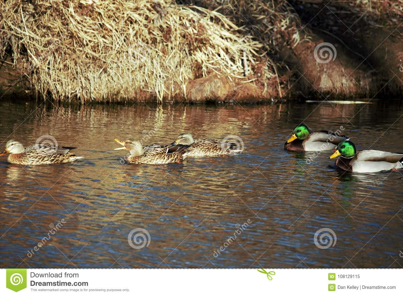 Mature Hen and drake mallards talking it up on the Boise river