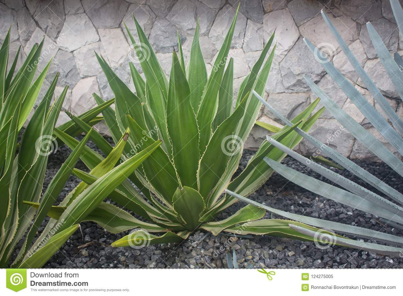 The mature leaves of snake plants