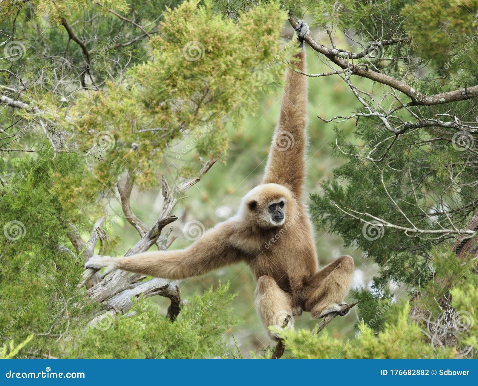 https://thumbs.dreamstime.com/z/mature-male-white-handed-gibbon-swinging-trees-beautiful-gibbonswinging-176682882.jpg