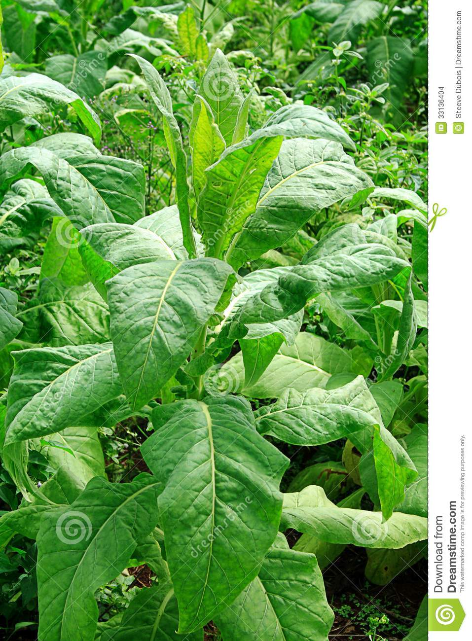 Mature Tobacco Plant With Large Green Leaves Stock Photo