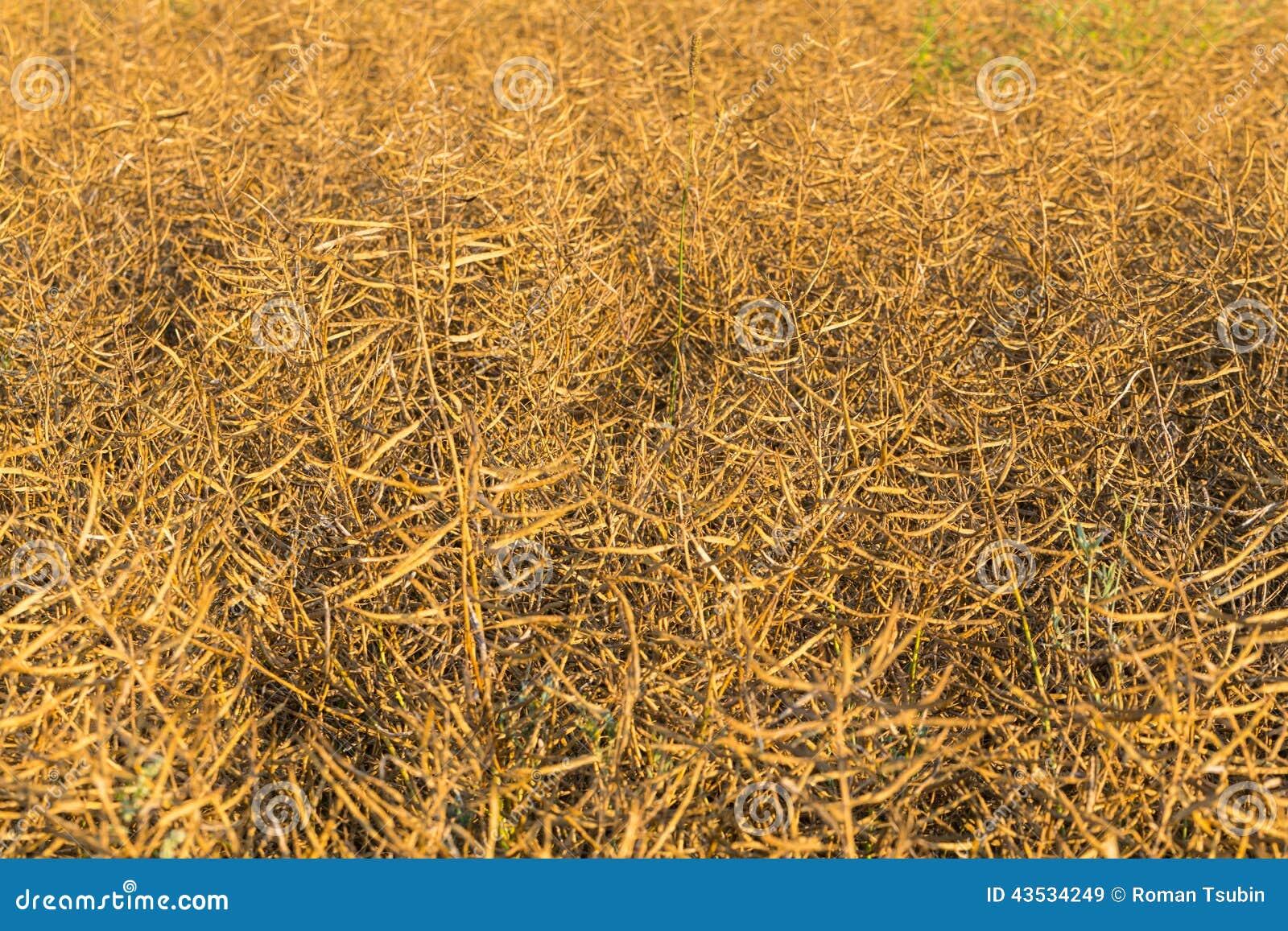 Maturidade da colza