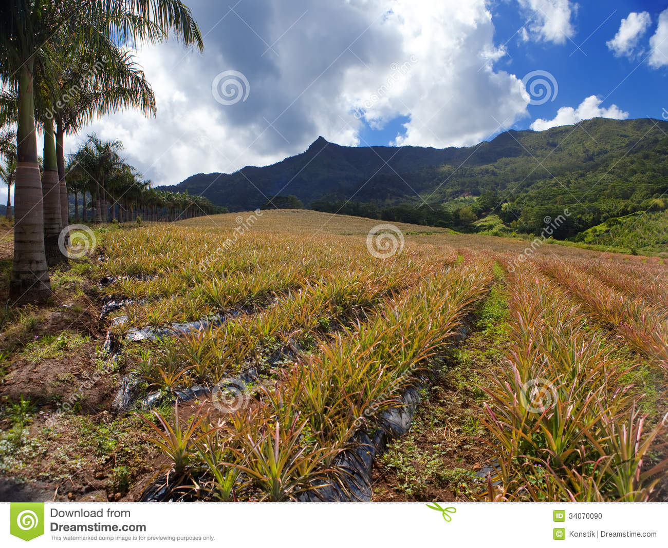 Mauritius Plantations Of Pineapples In A Hilly Terrain