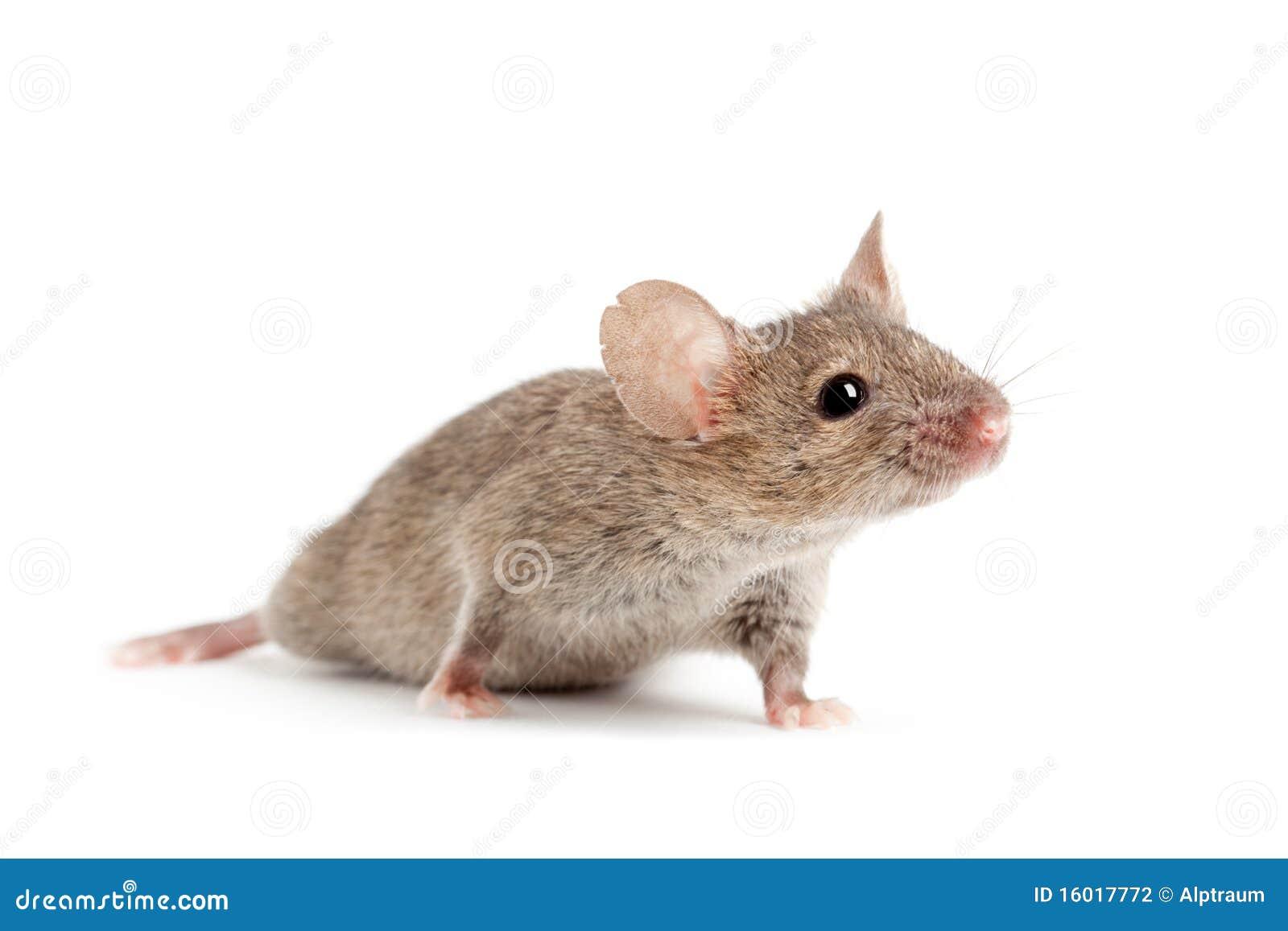 Maus getrennt auf Weiß