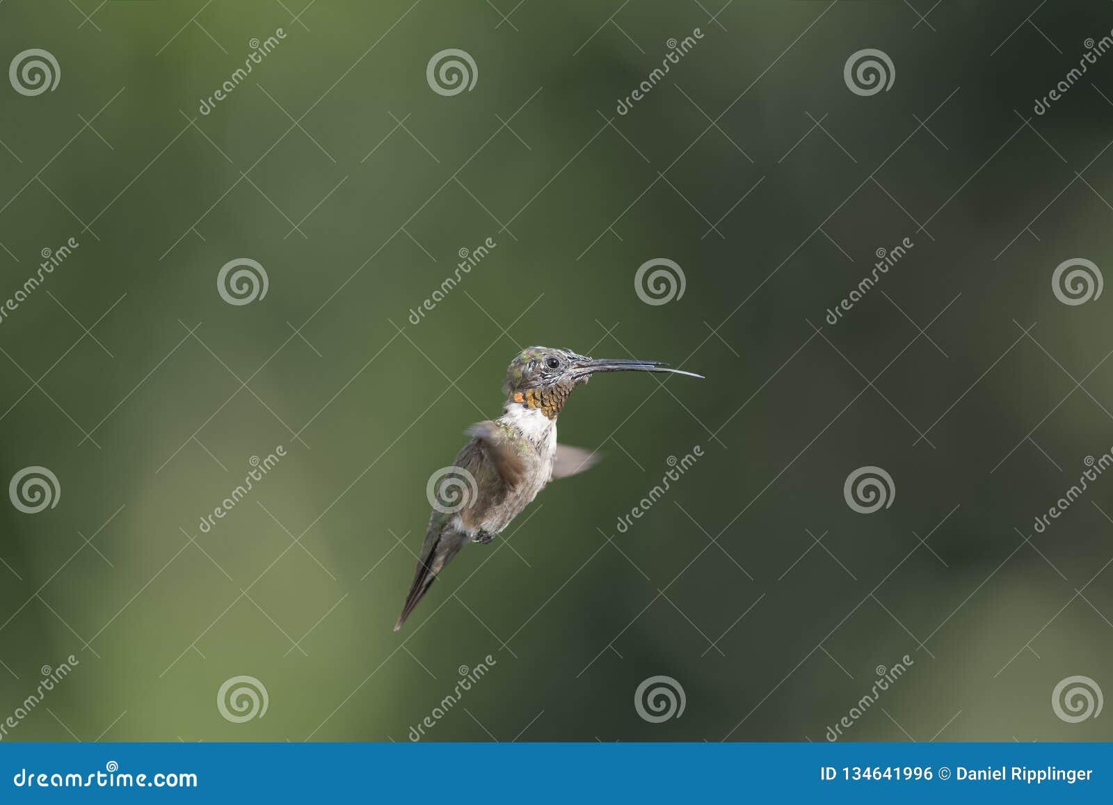 Mauserndes männliches Rubin-throated Kolibrifliegen mit der Zunge heraus