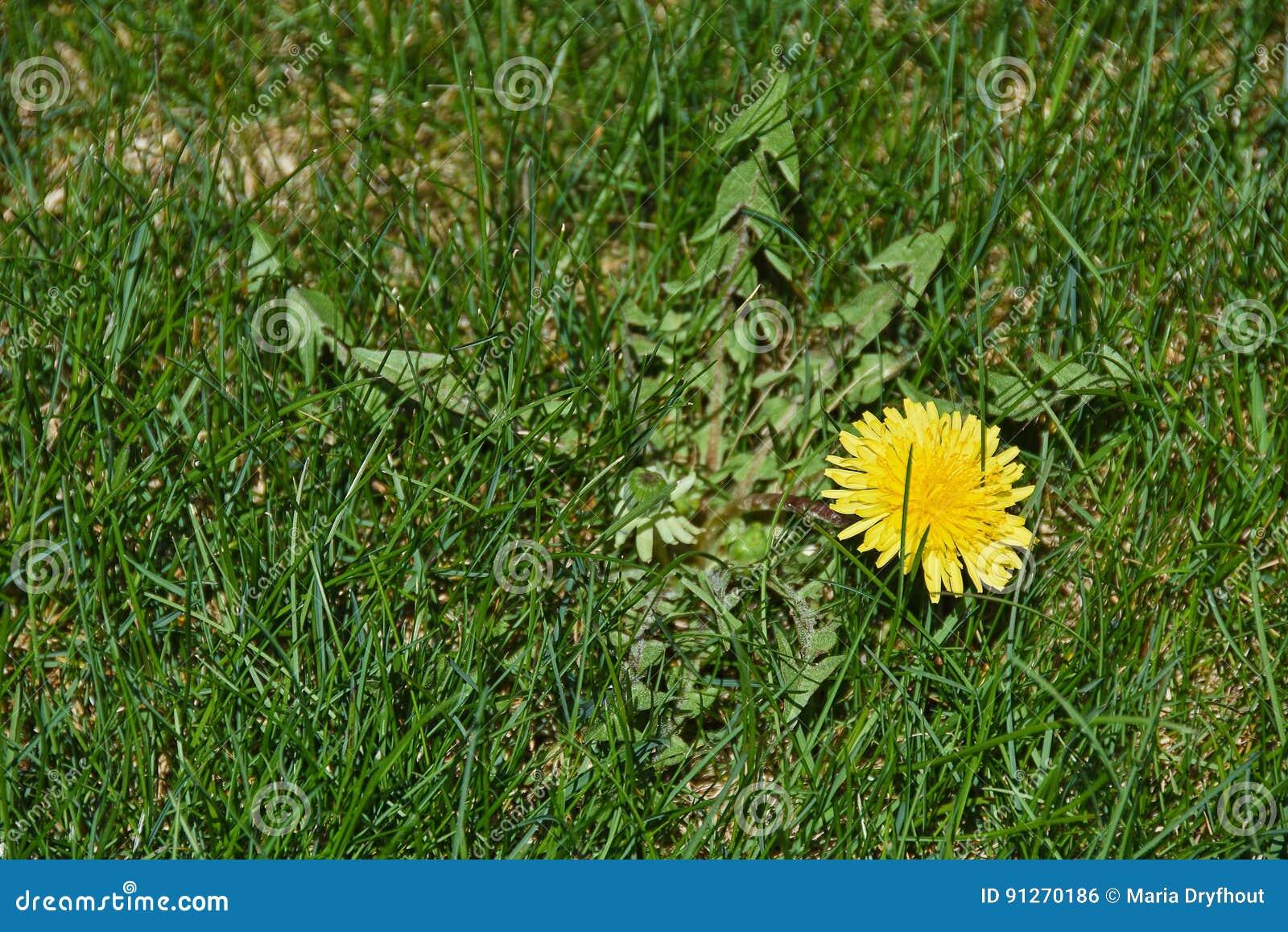 mauvaise herbe de pissenlit dans la pelouse photo stock. Black Bedroom Furniture Sets. Home Design Ideas