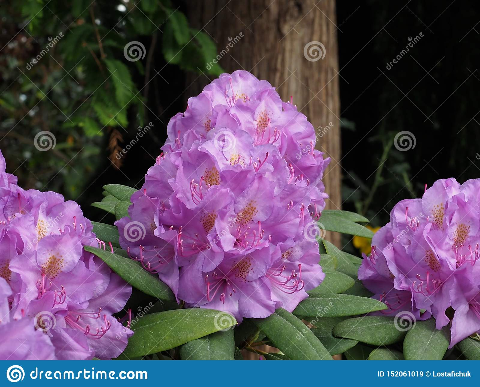 Mauve Rhododendron In Bloom In Late Spring
