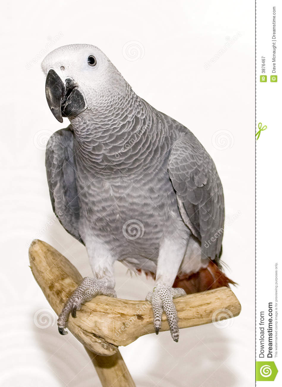 Max the african grey