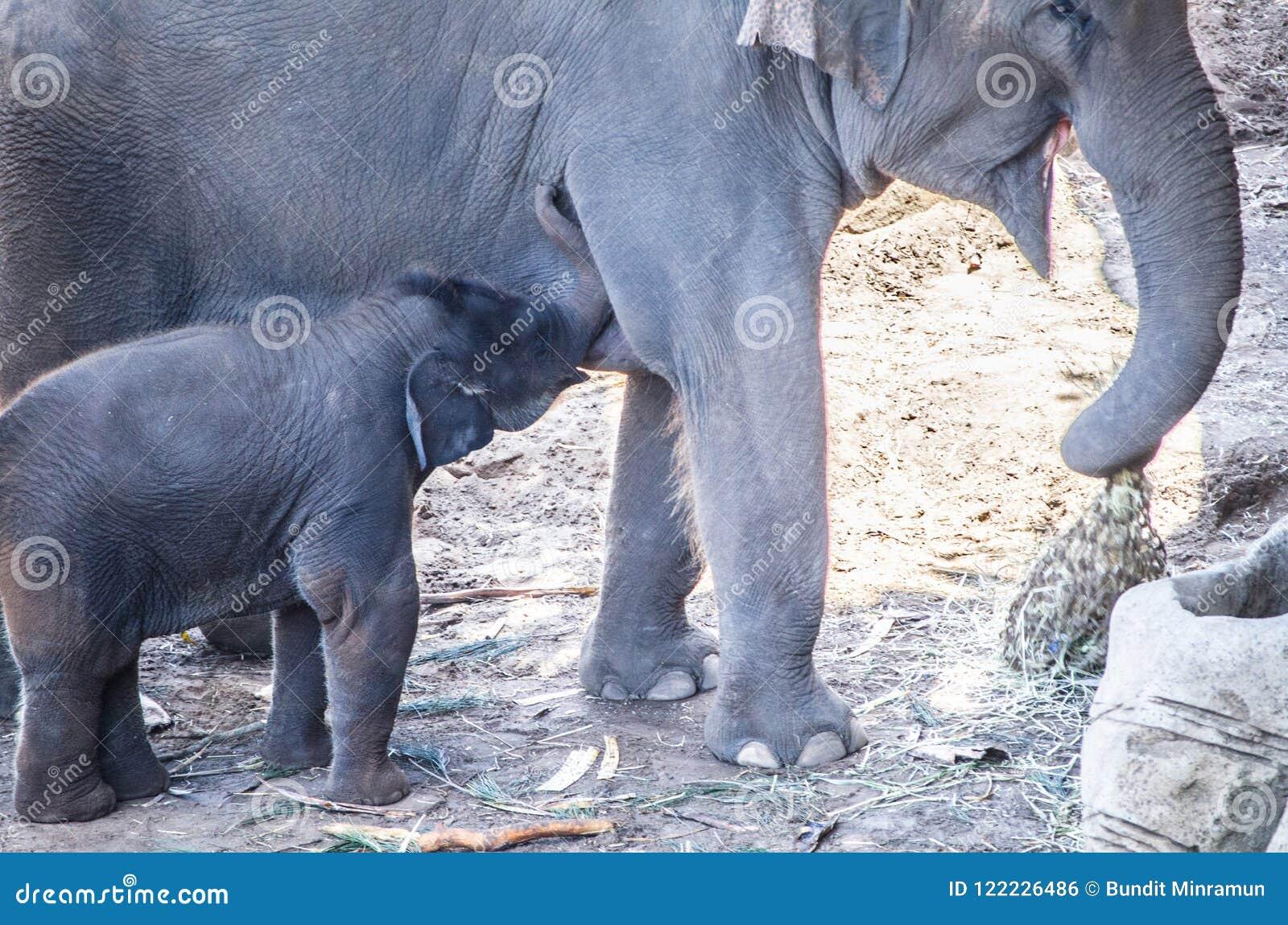 Maximus van Elephas van de baby krijgt Aziatische olifant het voeden van zijn moeder