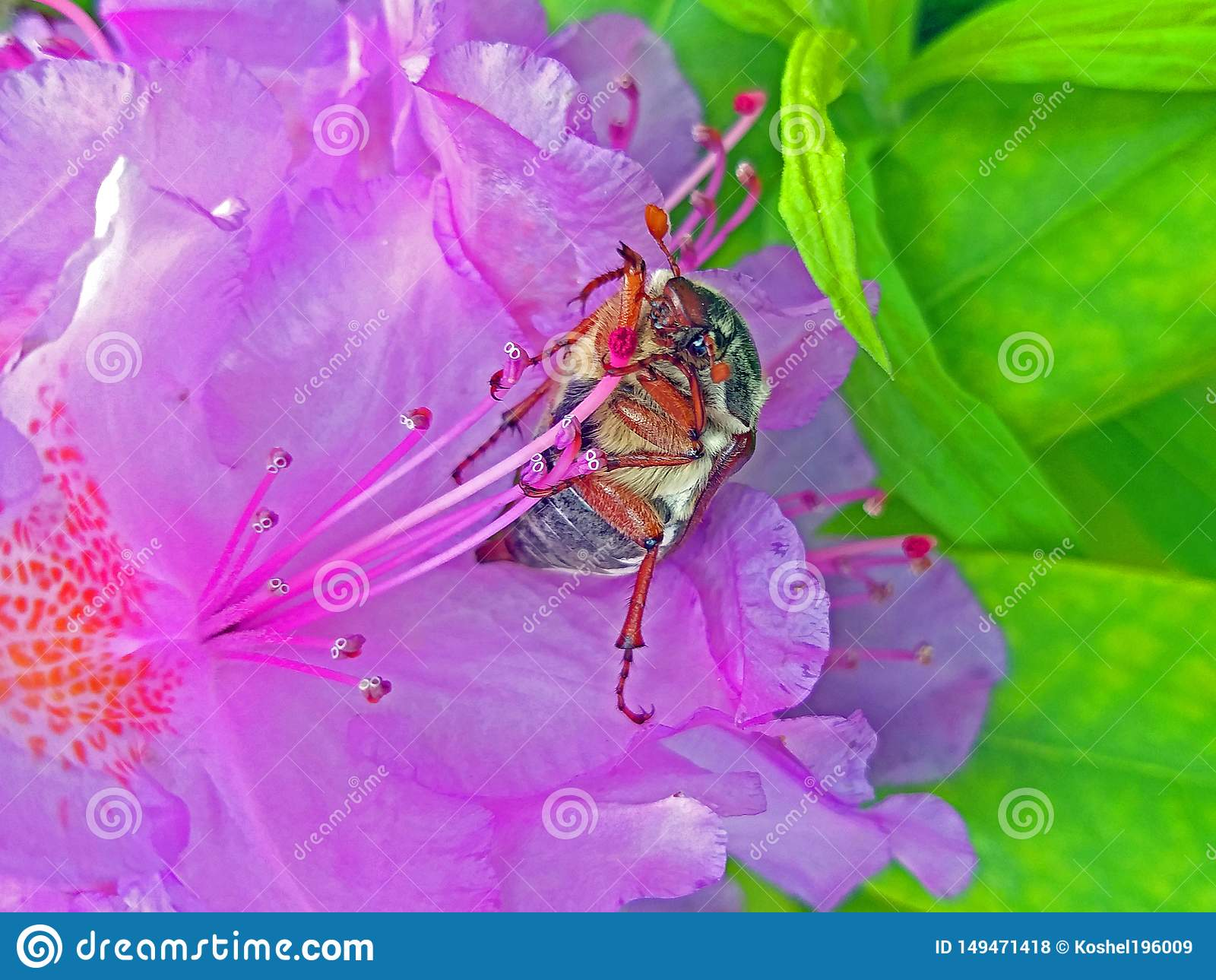 May beetle. Large insect in rhododendron flower. Large petals pink.