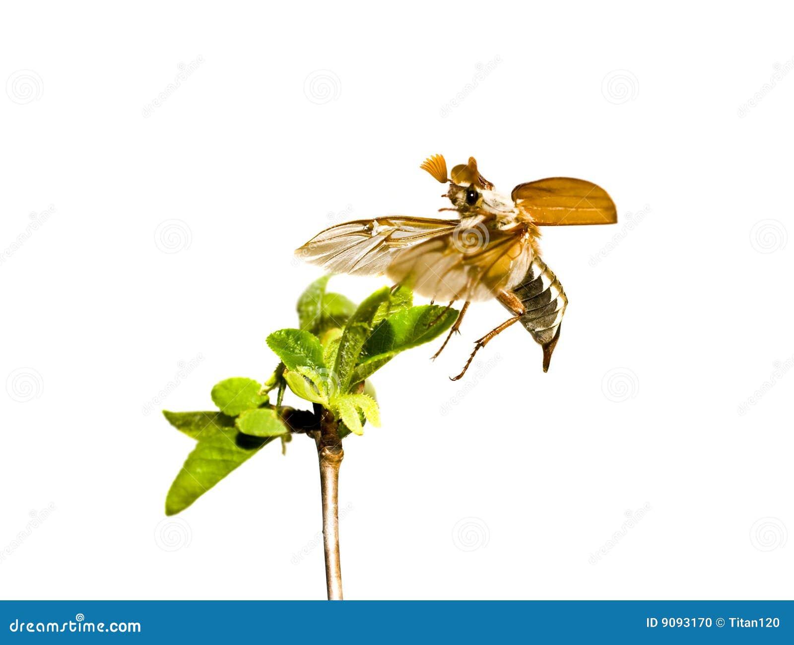 May-bug auf dem Zweig des Baums