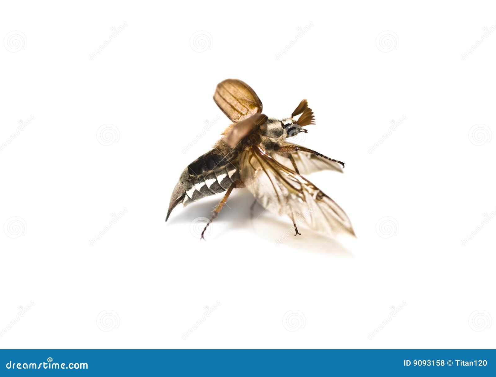 May-bug auf einem weißen Hintergrund.
