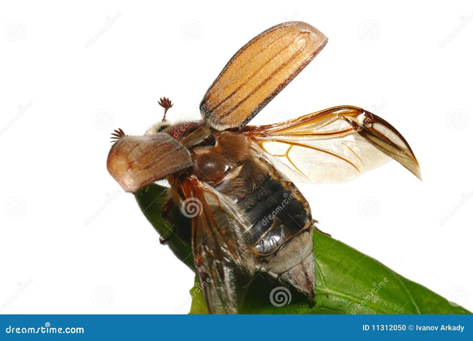 May-bug (Melolontha gemein)