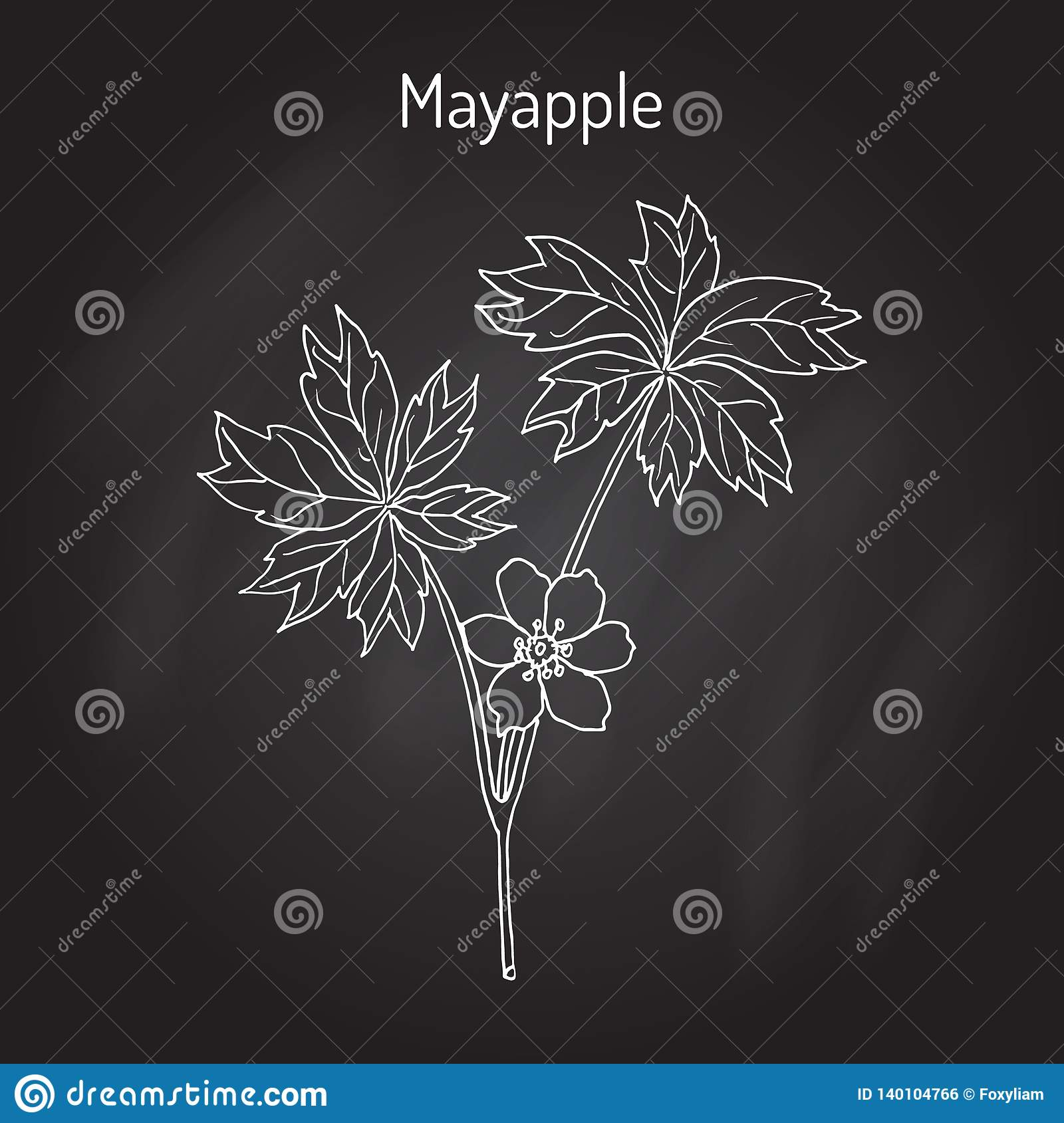 Mayapple Ilex purpurea , or wild mandrake, ground lemon, medicinal plant