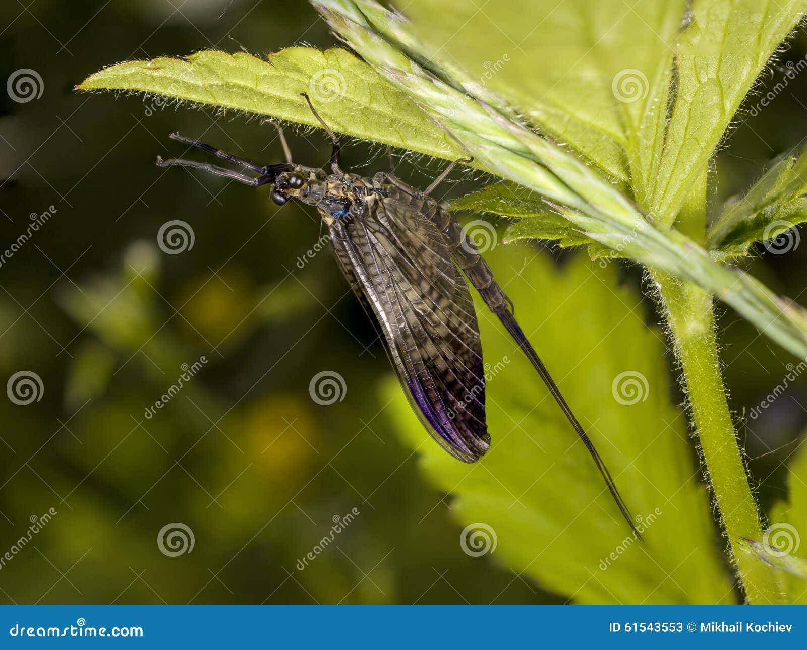 Mayfly (efemerydy vulgata)