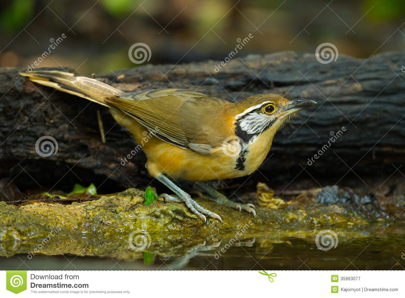 Mayor Necklaced Laughingthrush