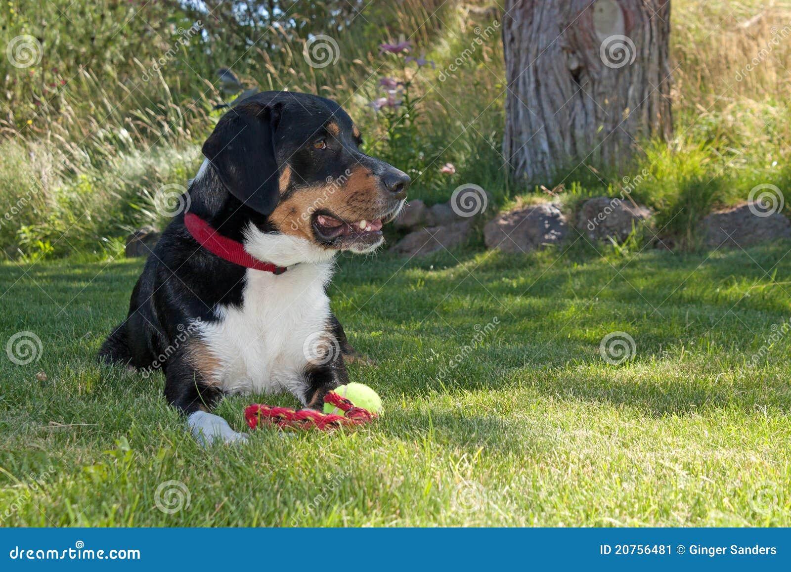 Mayor perro suizo de la montaña con el juguete