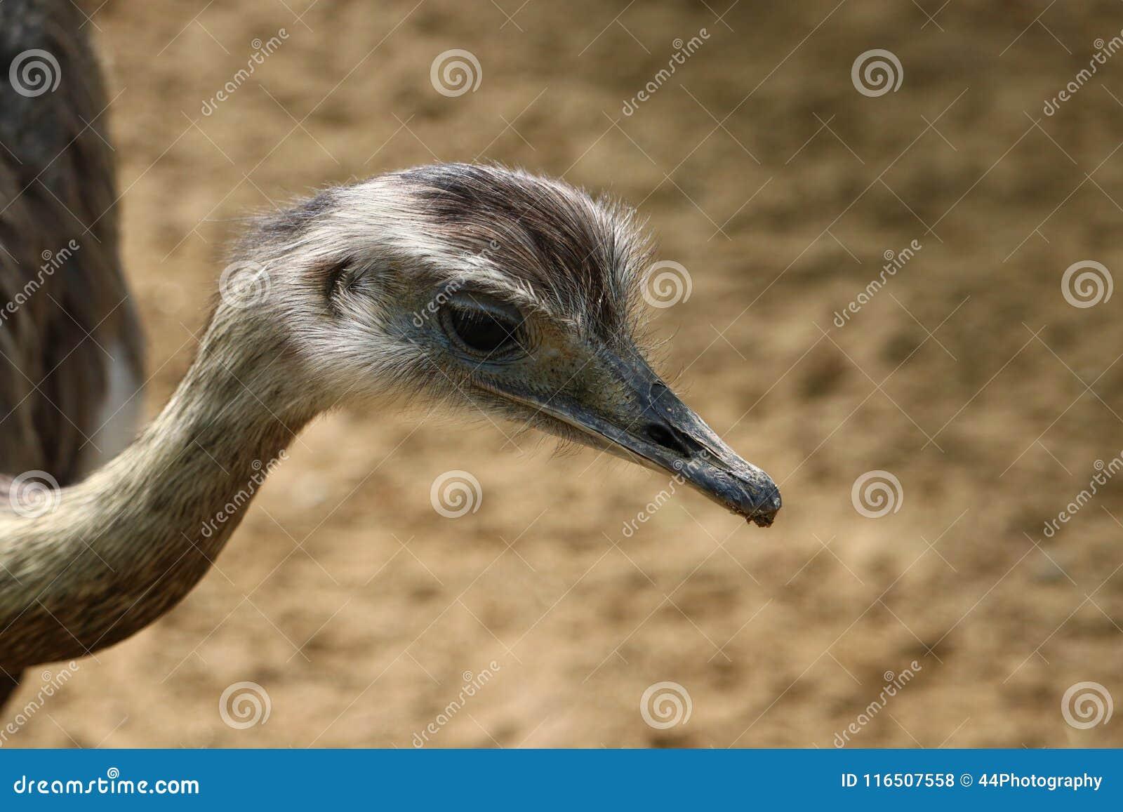 Mayor rhea Rhea americana, natural grande del pájaro a Suramérica del este