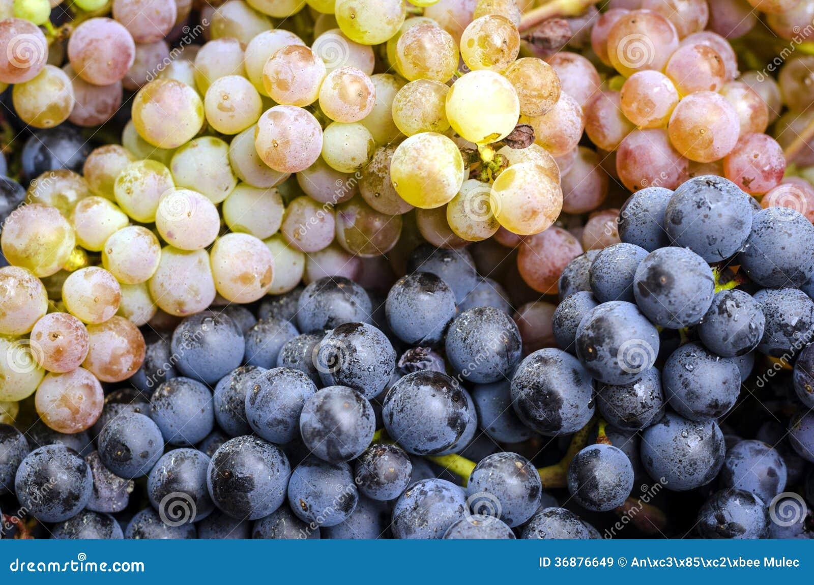 Download Mazzi Dell'uva Blu E Bianca Immagine Stock - Immagine di sugoso, background: 36876649