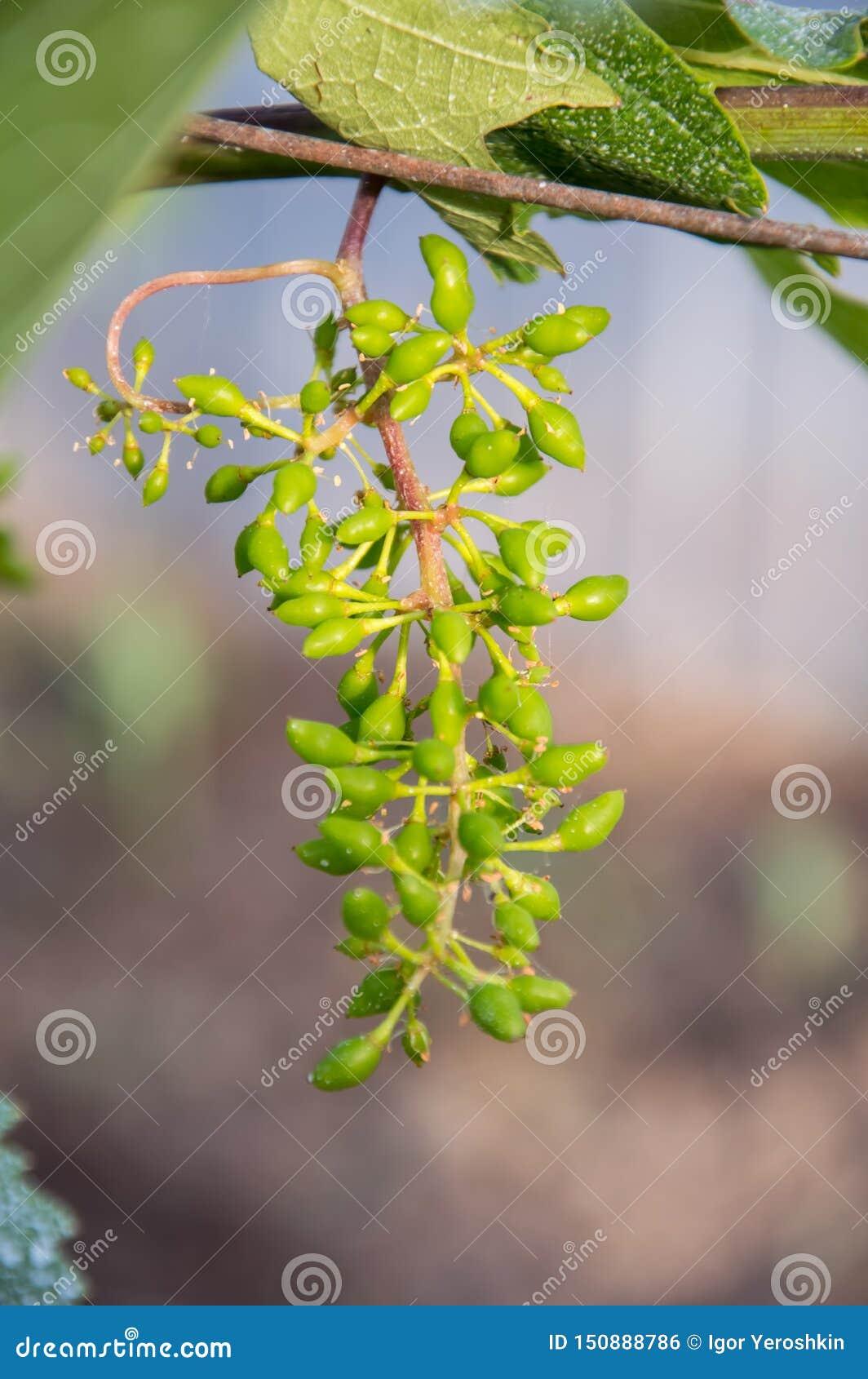 Mazzi di giovane uva non matura