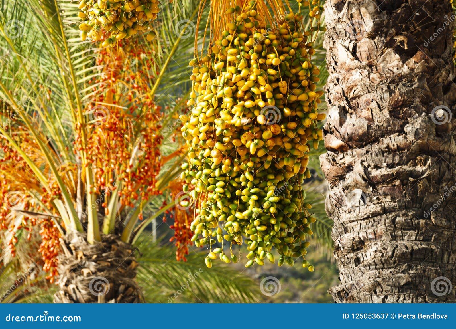 Mazzi maturi di date sull albero della palma da datteri nel colore verde, giallo, arancio e rosso Machico, Madera, Portogallo