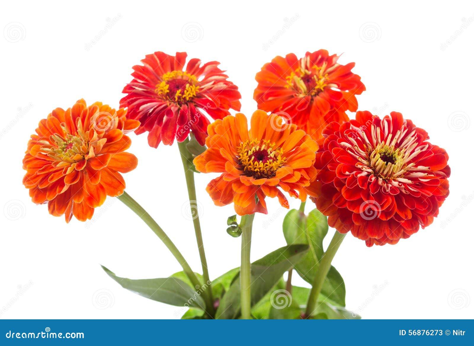 Mazzo dei fiori rossi di zinnia