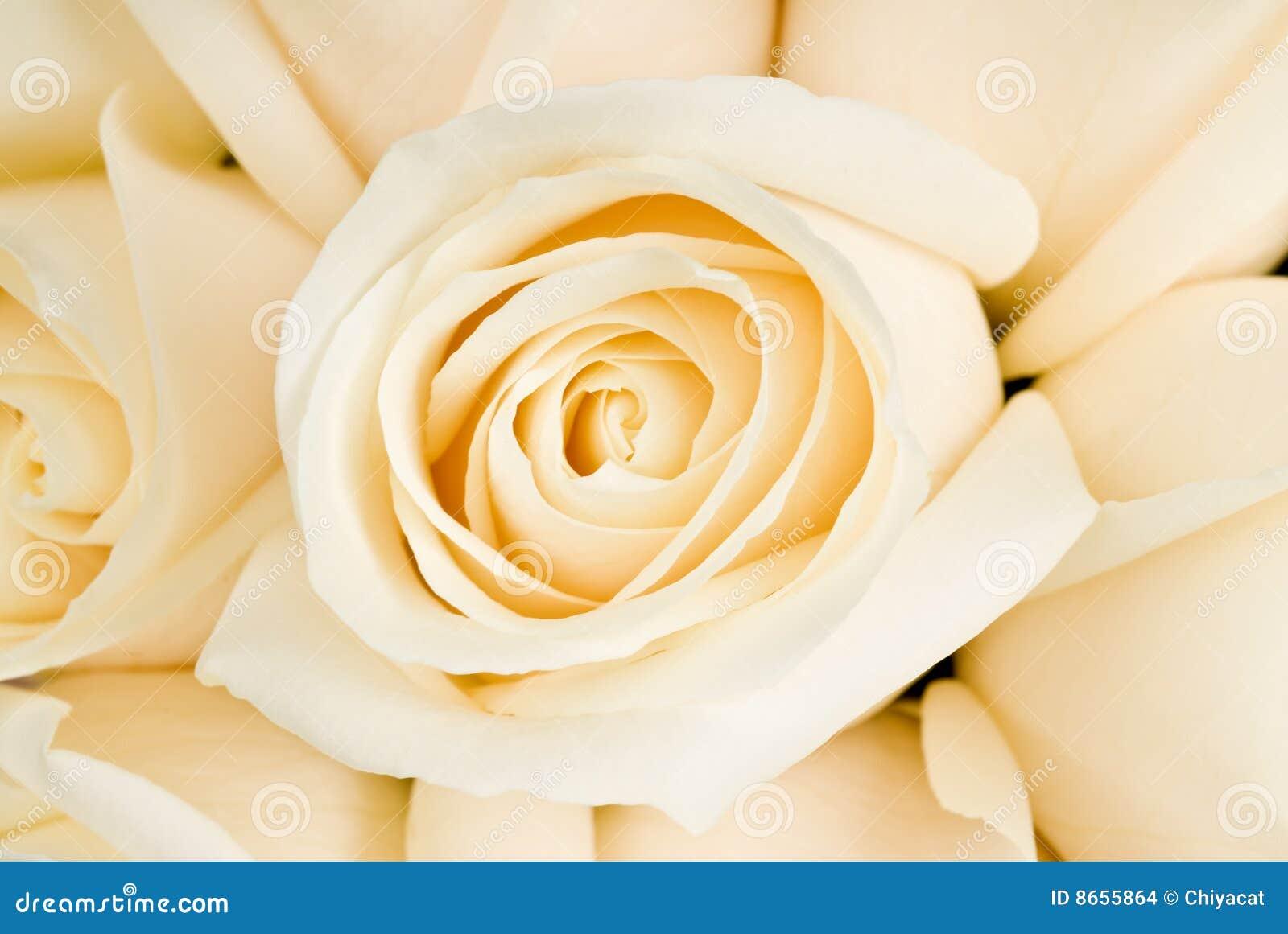 Mazzo delle rose bianche immagini stock immagine 8655864 for Disegni del mazzo del secondo piano