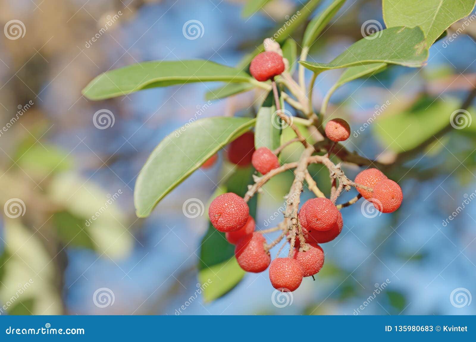 Mazzo di bacche rosse dell arbutus