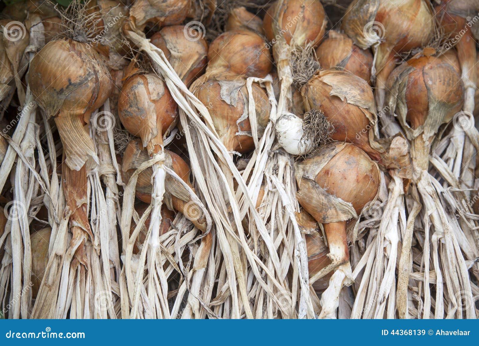 Mazzo di cipolle di secchezza