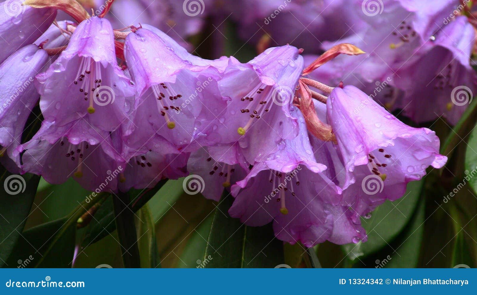 Mazzo di fiori del rododendro fotografia stock immagine for Progetti di costruzione del mazzo