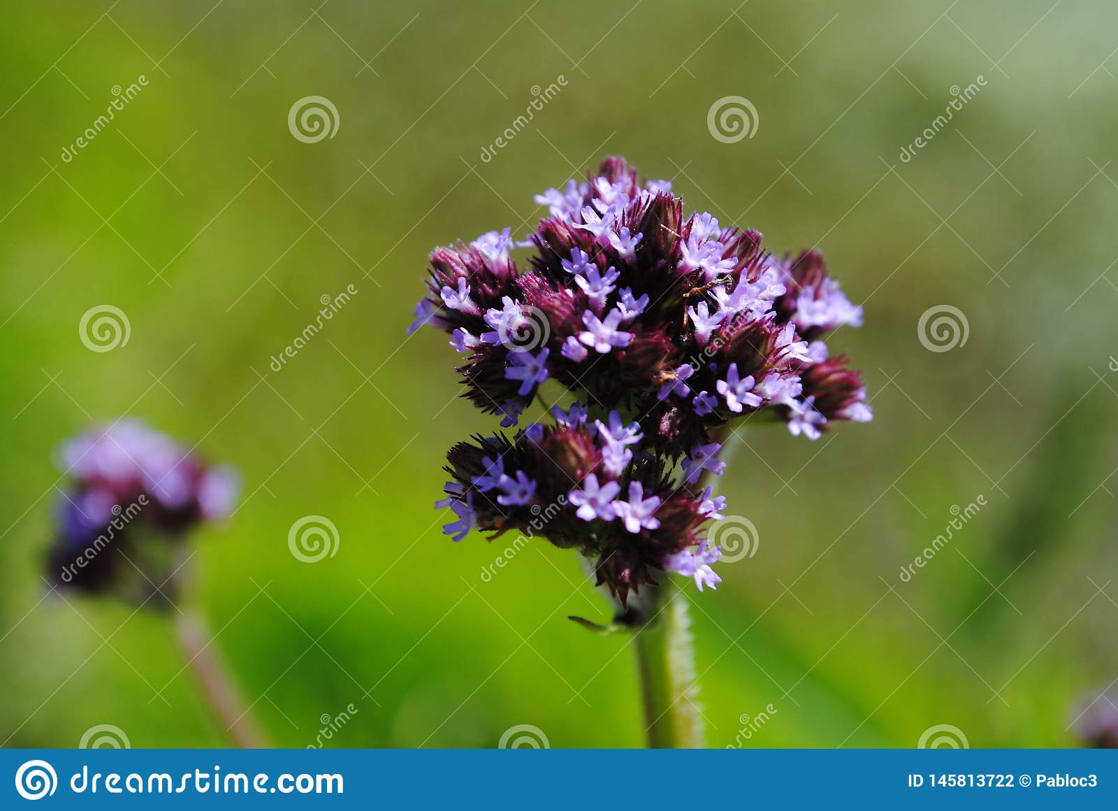 Mazzo di fiori porpora sul gambo lungo