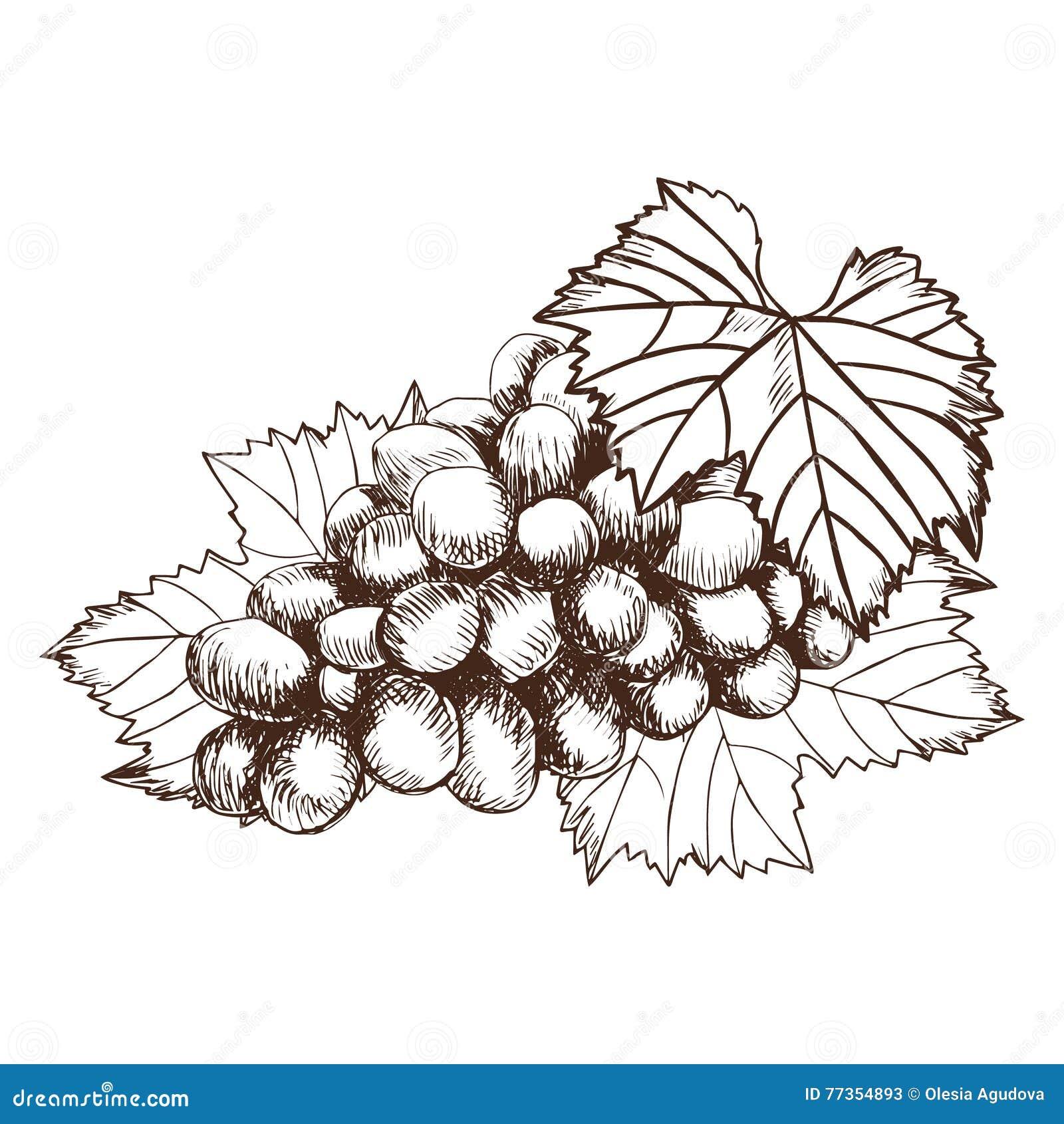Mazzo di illustrazione di vettore di stile di schizzo dell uva Vecchia imitazione dell incisione Disegnato a mano