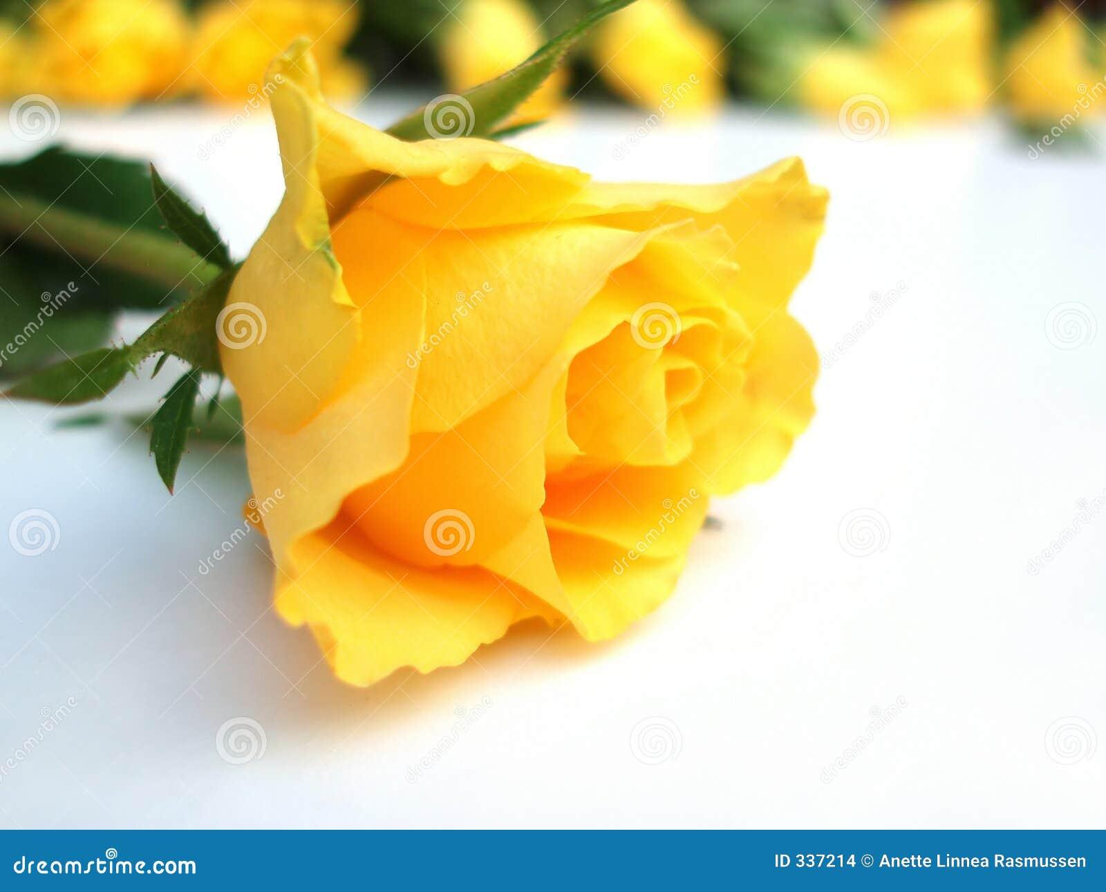 Mazzo di rosa gialla del â uno delle rose singola