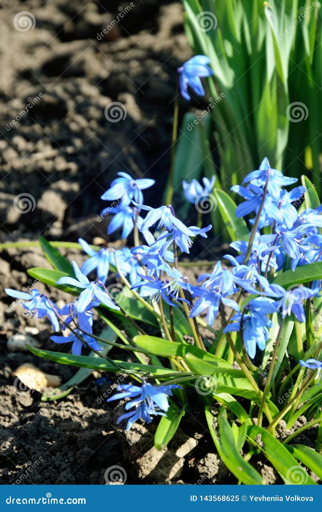 Mazzo di siberica di Scilla, fiori blu della molla in anticipo